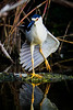 Black Crown Night Heron on the Anhinga Trail, Royal Palm, Everglades National Park, Florida