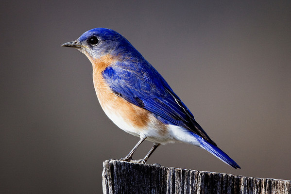 Bluebird in Cades Cove, Great Smoky Mountains National Park, Tennessee