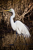 Great Egret, , Merritt Island National Wildlife Refuge, Cape Canaveral, Florida