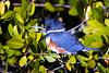 Belted Kingfisher, Merritt Island National Wildlife Refuge, Florida