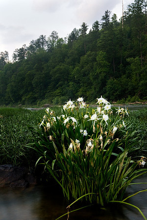 Cahaba Lily located on the Cahaba River in the Cahaba River National Wildlife Refuge near West Blocton, Alabama