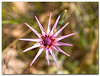 Purple Star.<br /> <br /> Spring at the Judea Desert