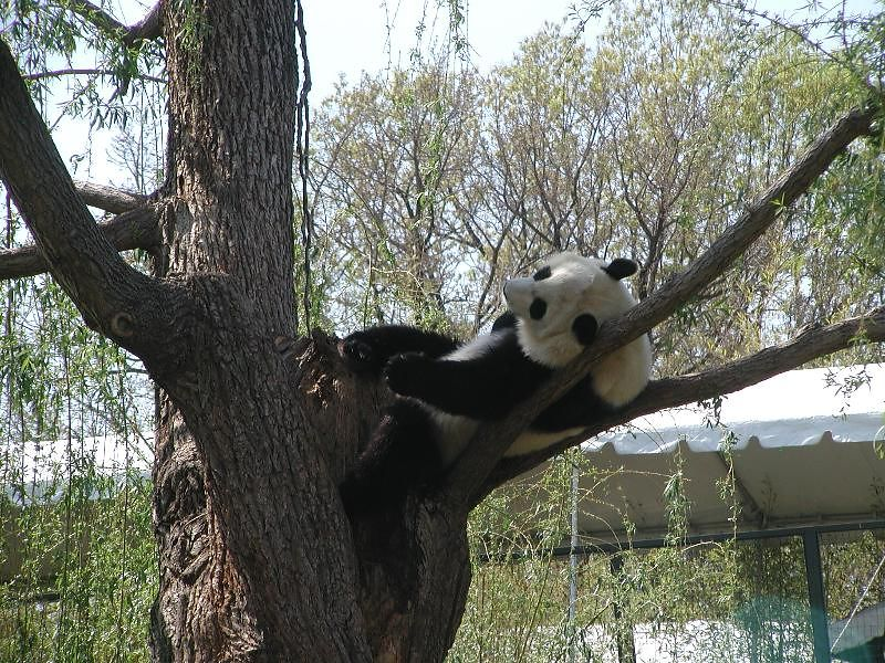 Panda in Washington DC