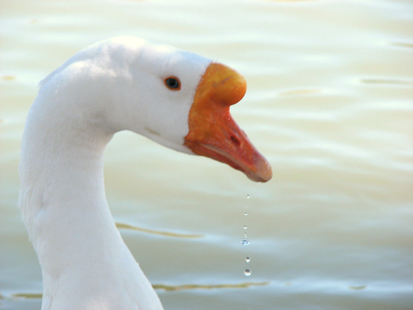 Goose head with water