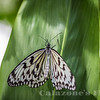 Rice Paper Butterfly- 5