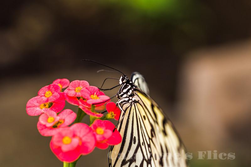 Kite Butterfly- 2