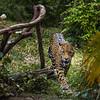 Jaguar Trail- 2