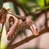 Atlas Moth- 3