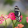 Longwing Lovely