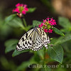 Rice Paper Butterfly- 3