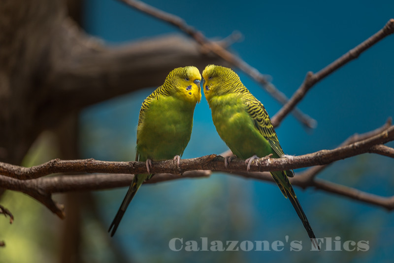 Kissing Birds- 2