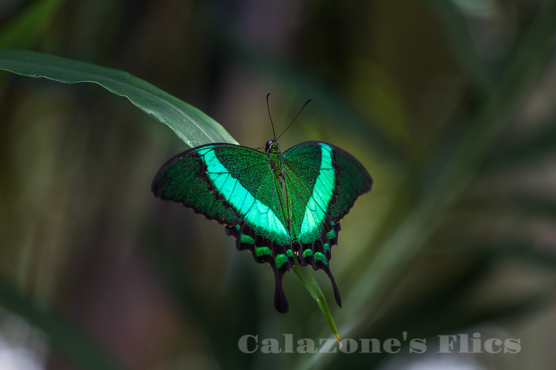 Green-banded Peacock- 2