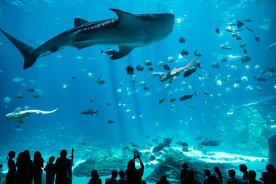 Whale Shark in main tank