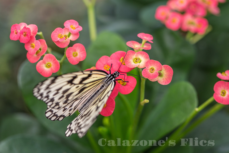 Kite Butterfly