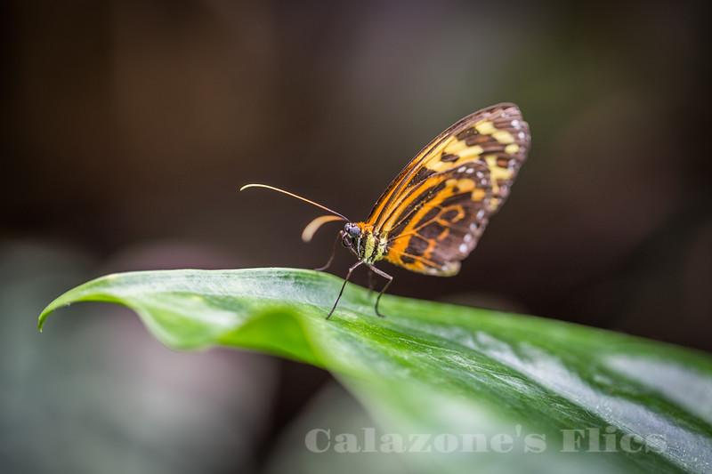 Cleobaea Butterfly