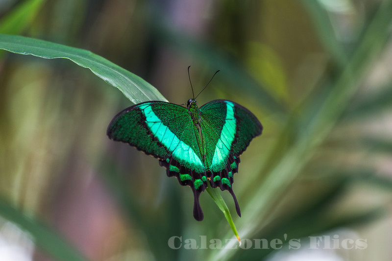 Green-banded Peacock
