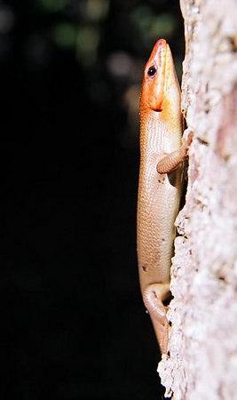 Broadhead Skink and Rough Green Snake - May 2006