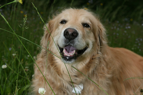 One of the best family dogs are the Golden Retriever. This one is taking some much needed R&R in the tall grass.