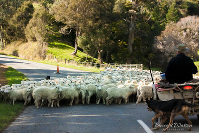 Sheep on the road