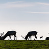 Silhouette of Elk Grazing