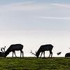 Silhouette of Elk Grazing