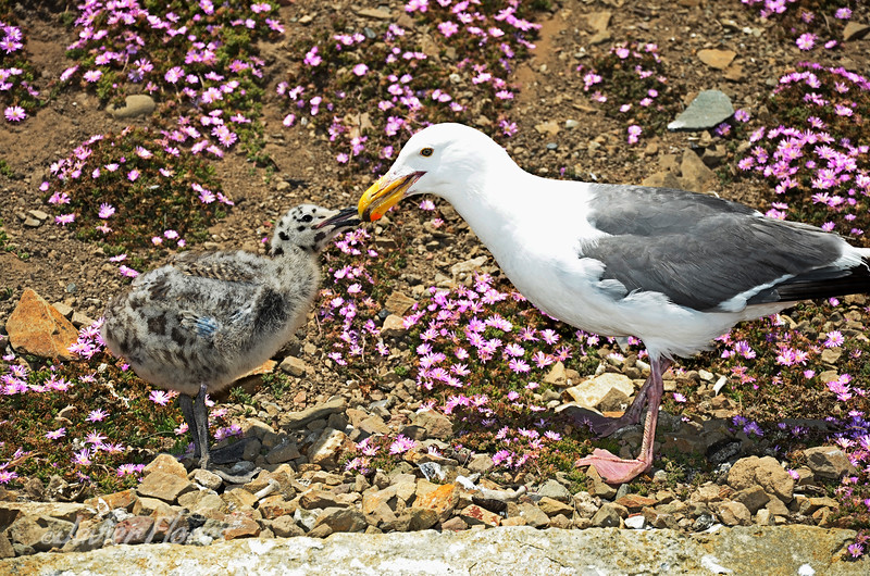 Seagull with Chick