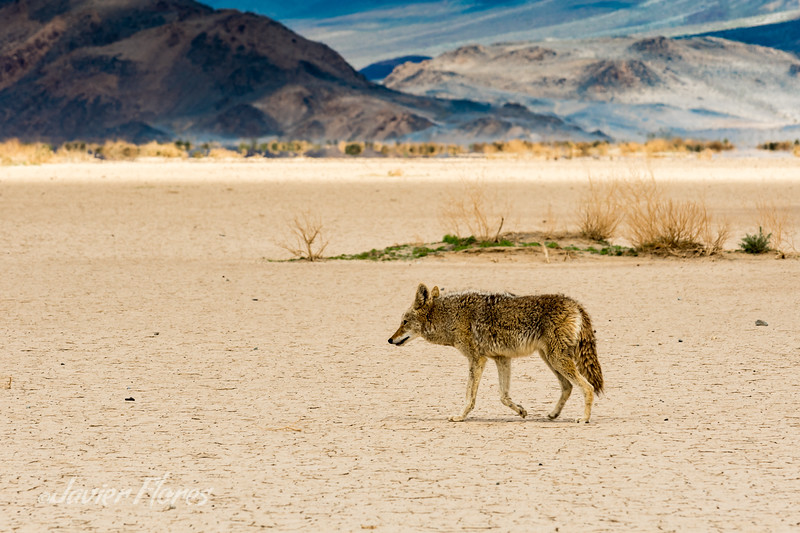 Coyote roaming Panamint Valley desert