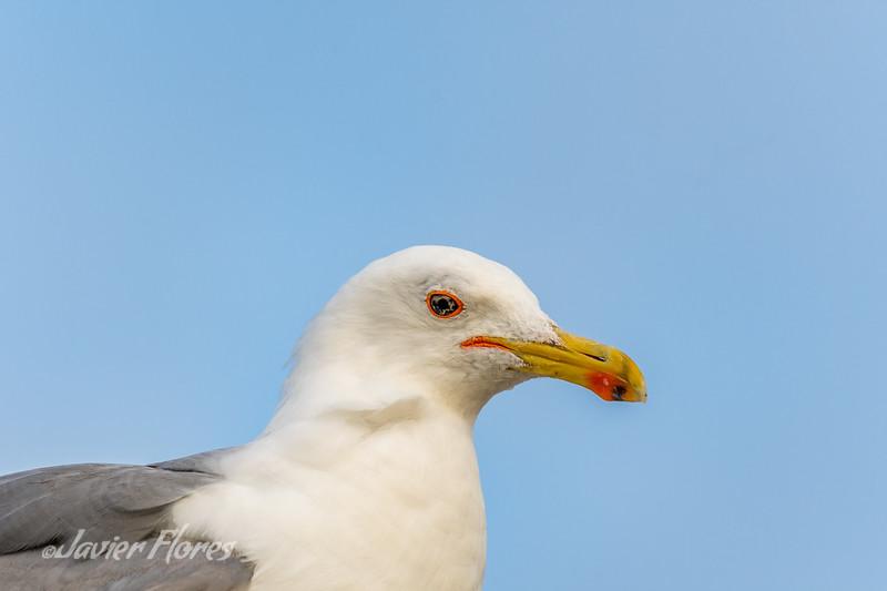 Seagull Portait