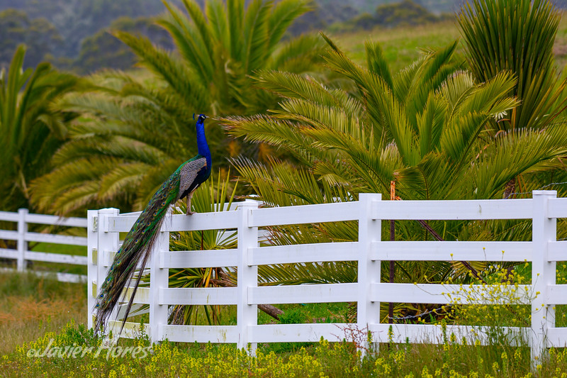 Peacock On White Fence