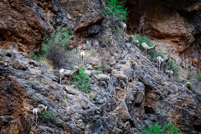 Sheep at Fish Creek Canyon in Central Arizona.