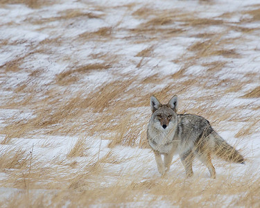 Coyotes and Wolves
