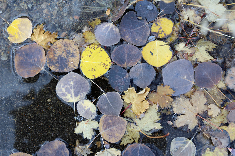 Aspen Leaves on the side of the road, Rocky Mountains, September 29, 2013