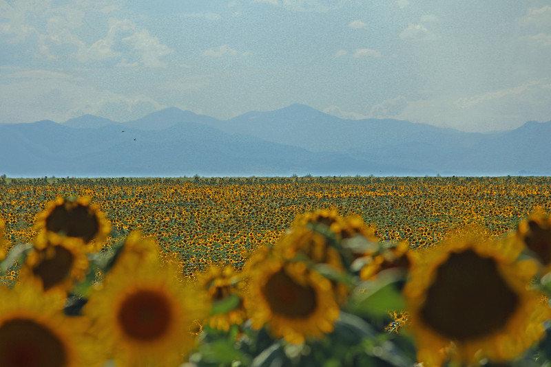 Sunflowers with Rockies in the Background, Hwy 70, Aurora, CO, August 2013