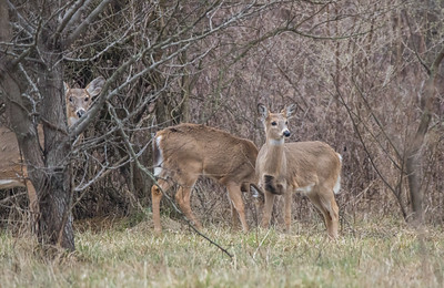 Group of Deer in the Woods