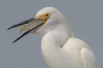 Snowy Egret Snack Time