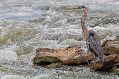 Great Blue Heron in the Ohio River