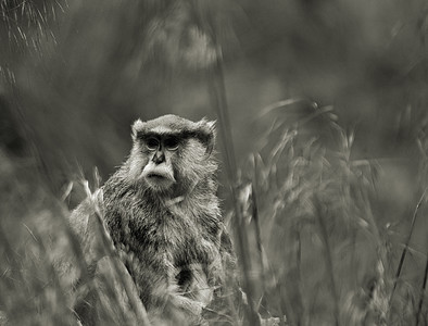 Patas Monkey in Black and White-