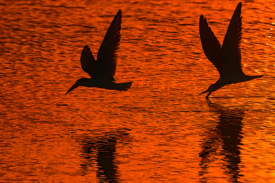 Black Skimmers Silhouette
