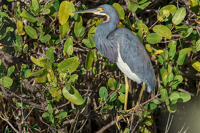 Tricolored Heron in the Sun