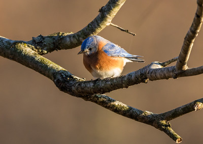 Eastern Bluebird in a Tree