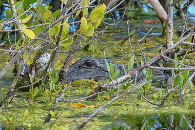 Alligator in the Moss