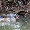 Wood Duck with a Berry