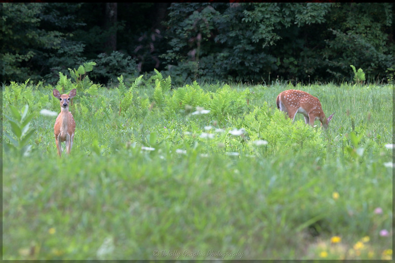 Fawns in the Upper Meadow