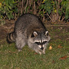 Raccoon after my bird feeder was caught in the act!