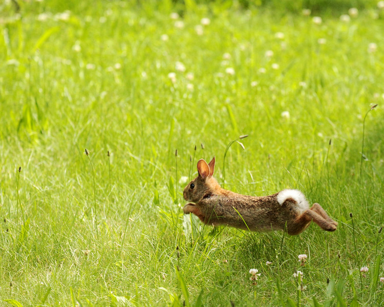 Cottontail Rabbit. A bit out of focus but posted it anyway. They are really fast to catch up close. Best view @ X2.
