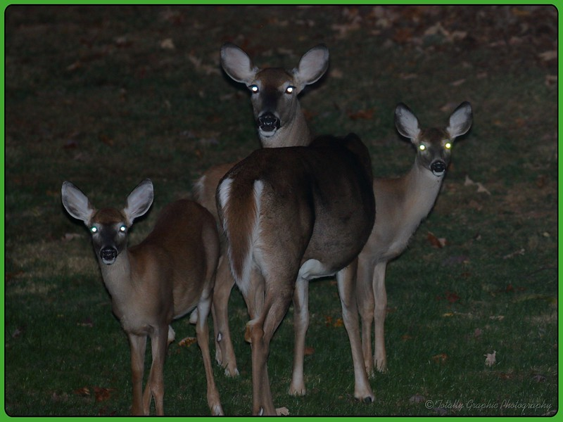 Deer in headlights moment,...how many do you see?