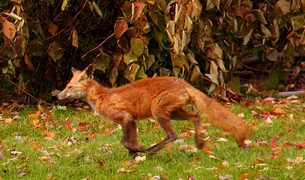 Opened the back door at work lunch time and saw this RED FOX sitting staring at me then he stood up. I quietly closed the door and RAN to my camera that was about 50 ft away. When I opened the door he started running. I was lucky he stayed as long as he did!