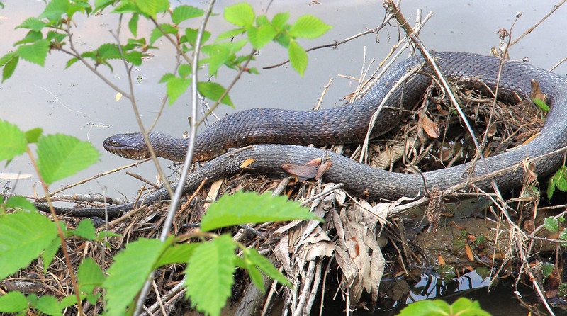 Common Water Snake. They are not venomous but can be aggressive.