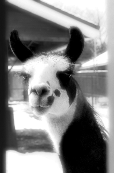 Llama. B&W PP with Perfect Effects. Highlights intended to blowout with snow on ground.