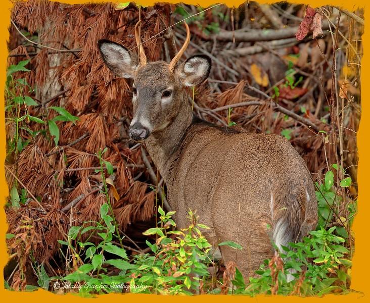 3 pt. Buck